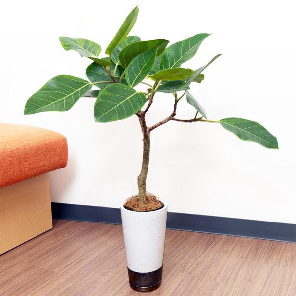 【産直 観葉植物(通年)(法人)】アルテシマ(白鉢)