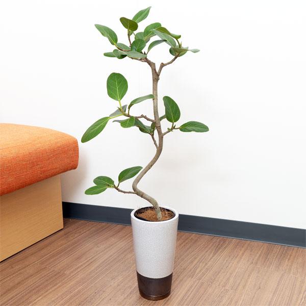【産直 観葉植物(通年)(法人)】ベンガルゴム(白鉢)