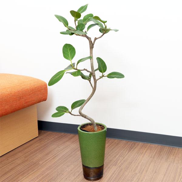 【産直 観葉植物(通年)(法人)】ベンガルゴム(緑鉢)