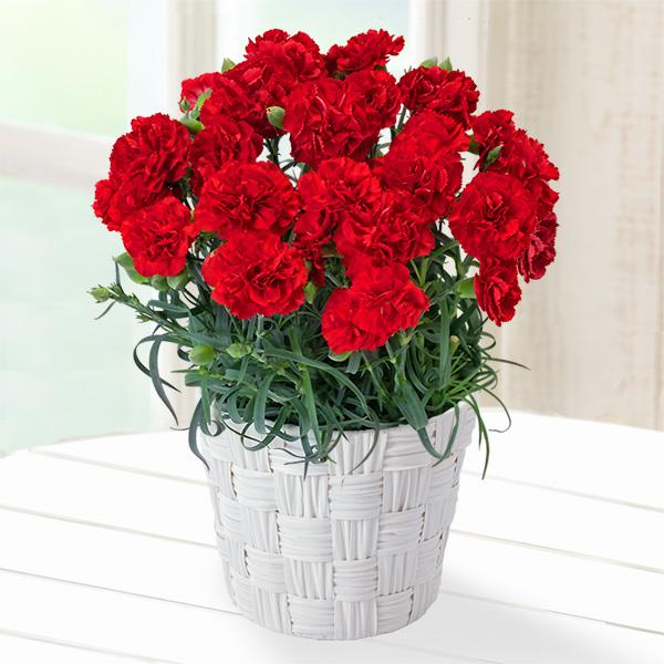 【母の日】幸せの赤カーネーション鉢 711326 |花キューピットの母の日産直花鉢特集2020