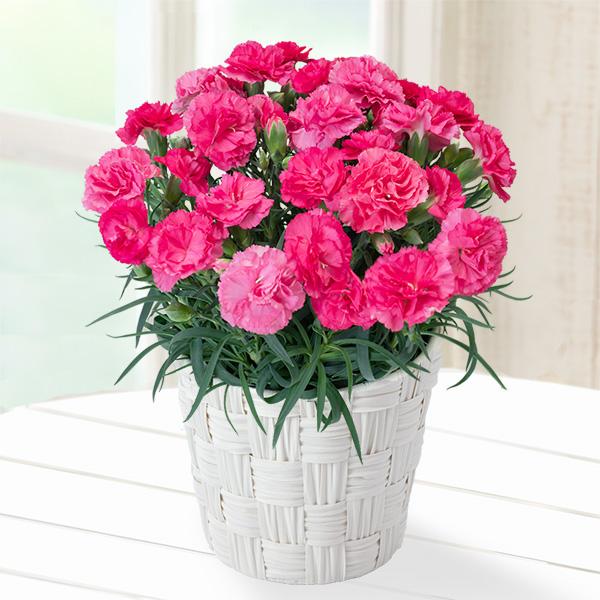 【母の日】幸せのピンクカーネーション鉢 711327 |花キューピットの母の日産直花鉢特集2020