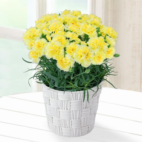【母の日】幸せの黄色カーネーション鉢 711328 |花キューピットの母の日産直花鉢特集2020