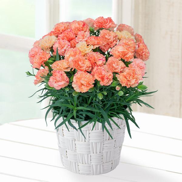 【母の日】幸せのオレンジカーネーション鉢 711329 |花キューピットの母の日産直花鉢特集2020