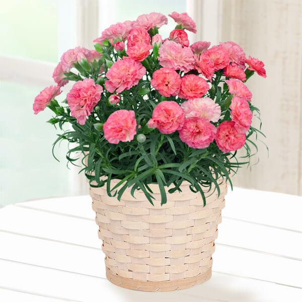 【母の日】幸せの複色カーネーション(ピンク) 711330 |花キューピットの母の日産直花鉢特集2020