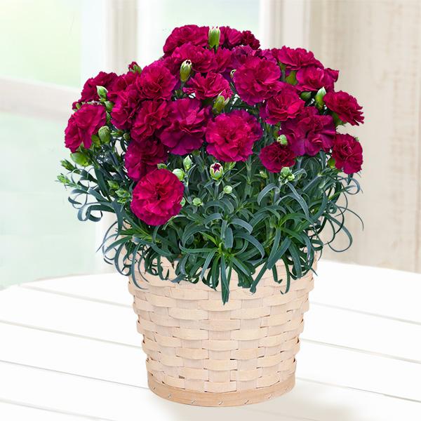 【母の日 産直ギフト】幸せの紫カーネーション鉢