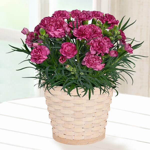 【母の日】幸せの複色カーネーション(紫) 711332 |花キューピットの母の日産直花鉢特集2020