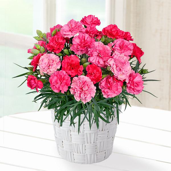 【母の日】幸せの色変わりカーネーション(ピンク) 711333 |花キューピットの母の日産直花鉢特集2020