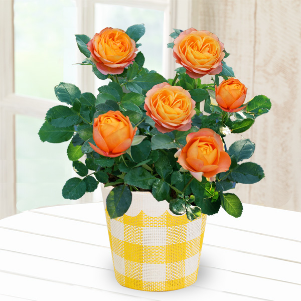 【母の日】バラ ベビーロマンティカ 711334 |花キューピットの母の日産直花鉢特集2020