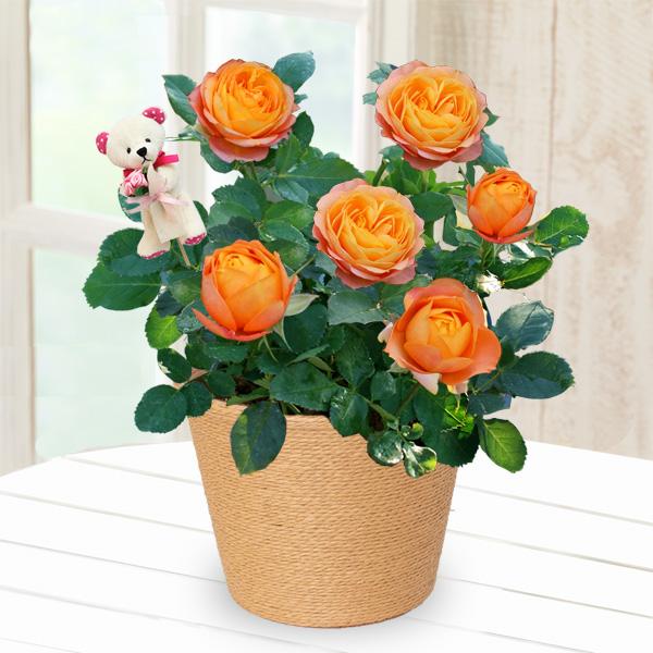 【母の日】バラ ベビーロマンティカ(クマのピック付き) 711335 |花キューピットの母の日産直花鉢特集2020