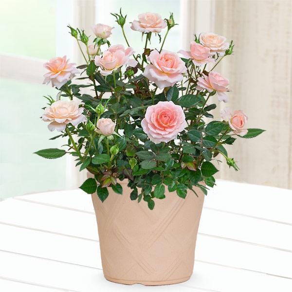 【母の日】バラ レディメイアンディナ 711336 |花キューピットの母の日産直花鉢特集2020