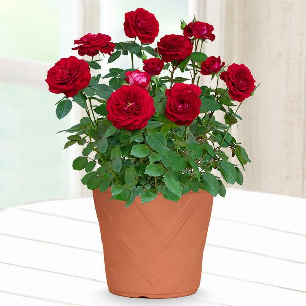 【母の日】バラ スカーレットオベーション 711337 |花キューピットの母の日産直花鉢特集2020