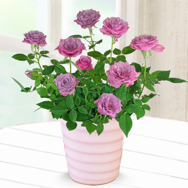 【母の日】バラ ブルーオベーション 711338 |花キューピットの母の日産直花鉢特集2020