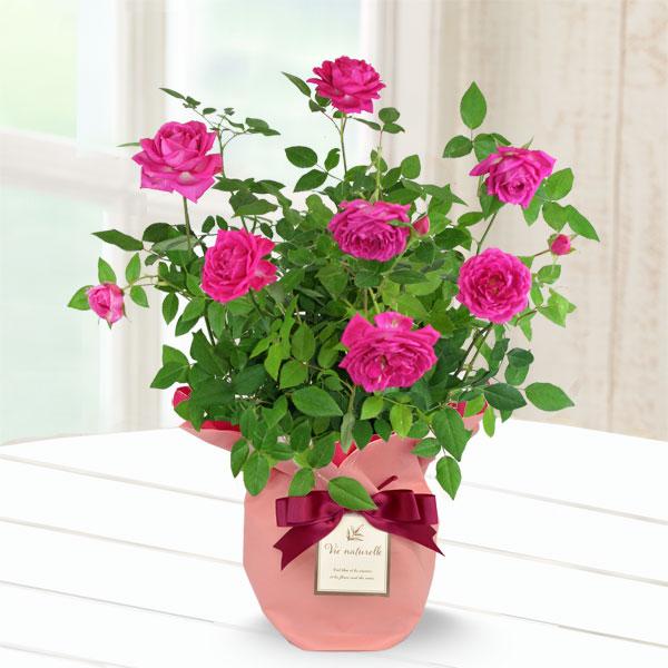 【母の日】バラ オーバーナイトセンセーション 711339 |花キューピットの母の日産直花鉢特集2020