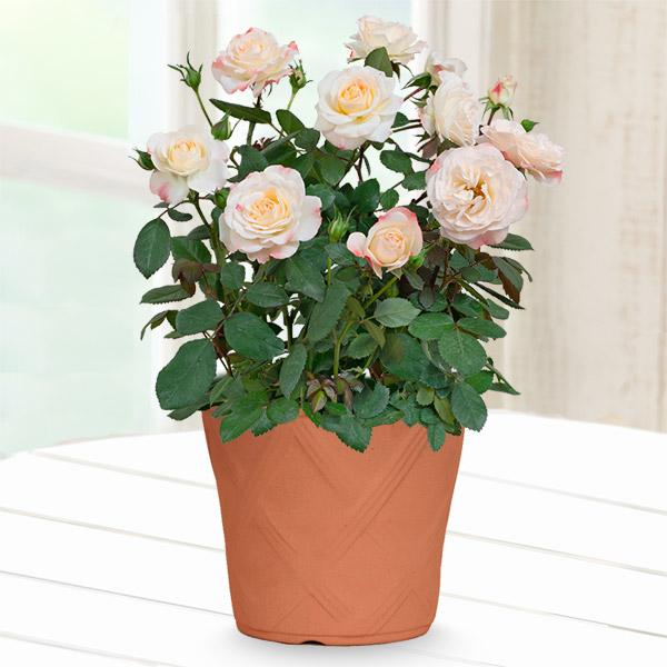 【母の日】バラ ホワイトピーチオベーション 711340 |花キューピットの母の日産直花鉢特集2020