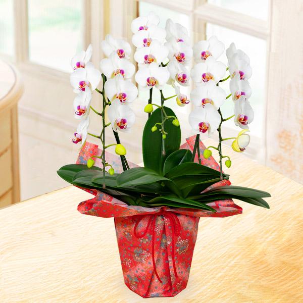 【母の日】ミディ胡蝶蘭白赤リップ3本立(千代紙ラッピング) 711341 |花キューピットの母の日産直花鉢特集2020