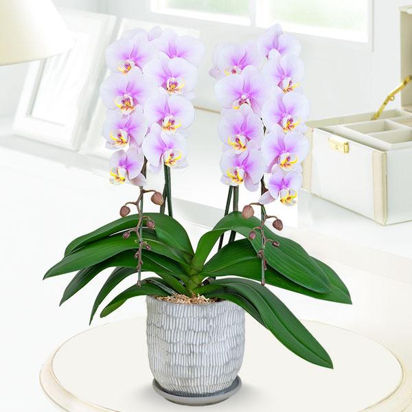 【母の日】ミディ胡蝶蘭ルーパン2本立 (陶器鉢) 711343 |花キューピットの母の日産直花鉢特集2020