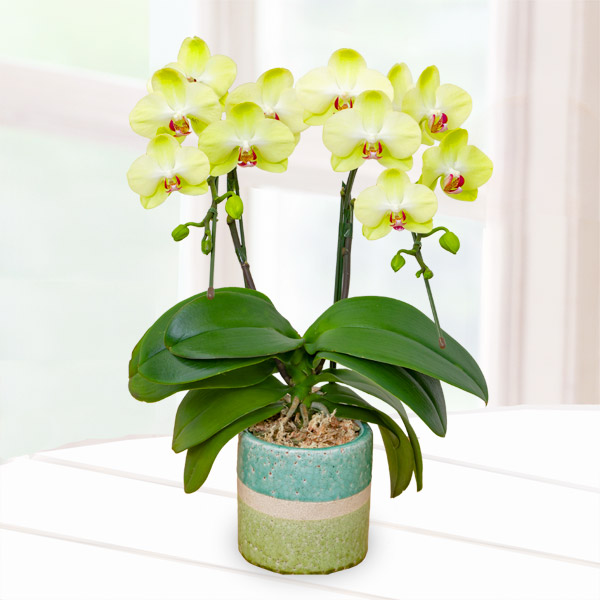 【母の日】ミディ胡蝶蘭フォーチュン2本立 (陶器鉢) 711345 |花キューピットの母の日産直花鉢特集2020
