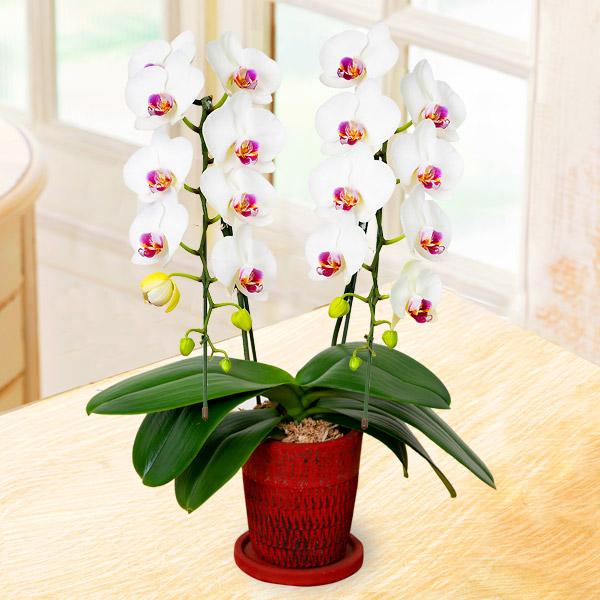 【母の日】ミディ胡蝶蘭白赤リップ2本立 (陶器鉢) 711346 |花キューピットの母の日産直花鉢特集2020