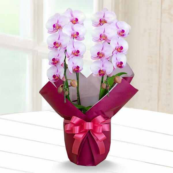 【母の日】ミディ胡蝶蘭ピンク系2本立 (ラッピング) 711347 |花キューピットの母の日産直花鉢特集2020