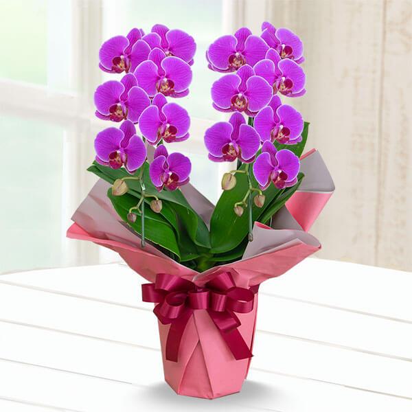 【母の日】ミディ胡蝶蘭濃ピンク系2本立 (ラッピング) 711348 |花キューピットの母の日産直花鉢特集2020