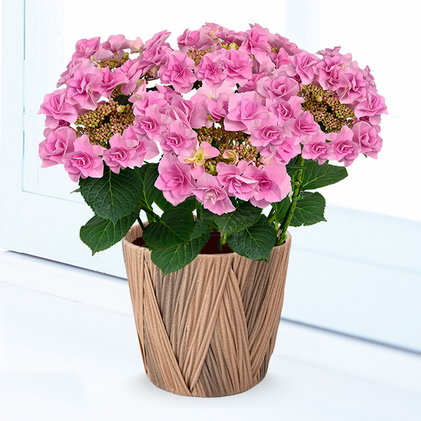 【母の日】母の日あじさい フェアリーアイ 711349 |花キューピットの母の日産直花鉢特集2020