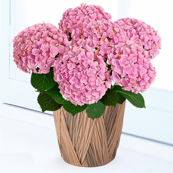 【母の日】母の日あじさい フェアリーキッス 711350 |花キューピットの母の日産直花鉢特集2020