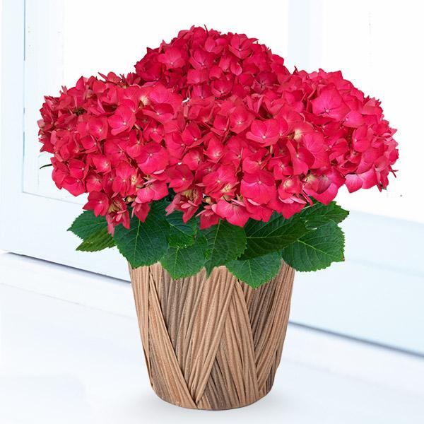 【母の日】母の日あじさい クリスタルレッド 711351 |花キューピットの母の日産直花鉢特集2020