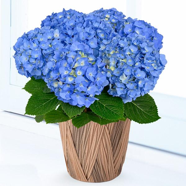 【母の日】母の日あじさい ブルーダイヤモンド 711352 |花キューピットの母の日産直花鉢特集2020