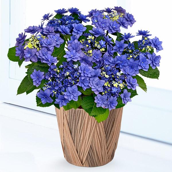 【母の日】母の日あじさい ヒミコ(ブルー) 711353 |花キューピットの母の日産直花鉢特集2020