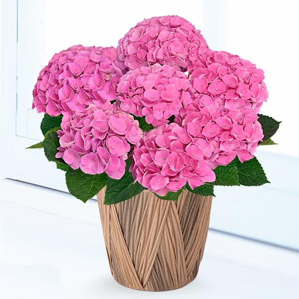 【母の日】母の日あじさい シーアン(ピンク) 711354 |花キューピットの母の日産直花鉢特集2020