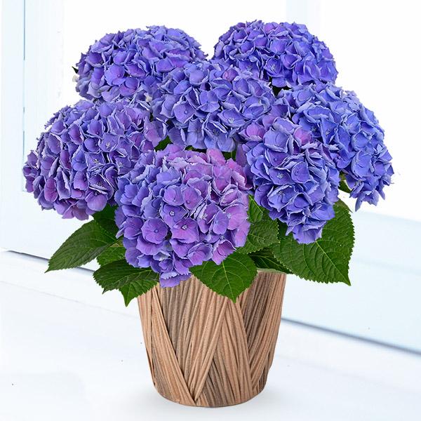 【母の日】母の日あじさい シーアン(ブルー) 711355 |花キューピットの母の日産直花鉢特集2020