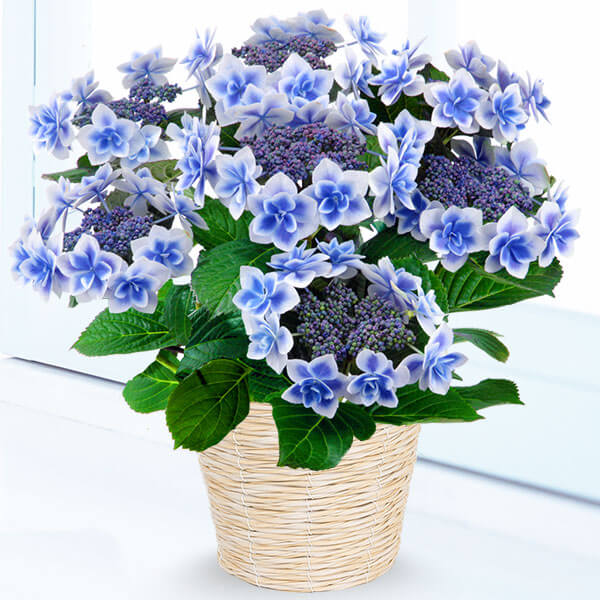 【母の日】母の日あじさい コンペイトウ(ブルー) 711356 |花キューピットの母の日産直花鉢特集2020