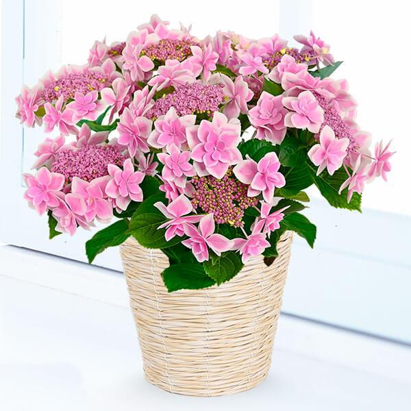 【母の日】母の日あじさい コンペイトウ(ピンク) 711357 |花キューピットの母の日産直花鉢特集2020