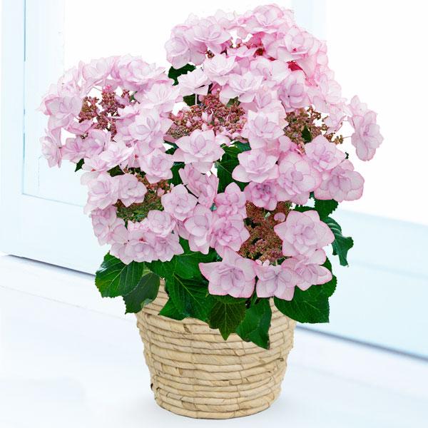 【母の日】母の日あじさい ピンキーリング 711358 |花キューピットの母の日産直花鉢特集2020