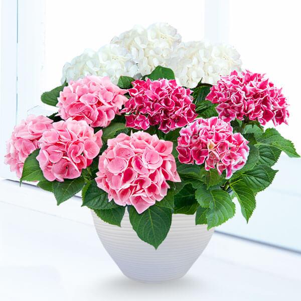 【母の日】母の日あじさい3色寄せ(白・ピンク・覆輪ピンク) 711359 |花キューピットの母の日産直花鉢特集2020