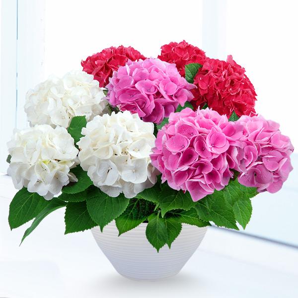 【母の日】母の日あじさい3色寄せ(赤・ピンク・白) 711360 |花キューピットの母の日産直花鉢特集2020