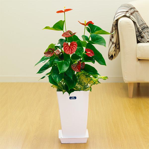 【夏の花贈り特集】アンス赤&ゴット寄せ(白鉢) 711366 |花キューピットの夏の花贈り特集2020