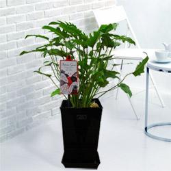 【産直 観葉植物(通年)】クッカバラ(黒鉢)