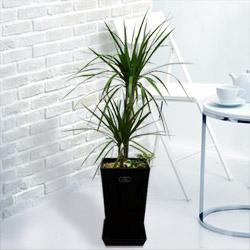 【産直 観葉植物(通年)】コンシンネ マジナータ&アイビー(黒鉢)