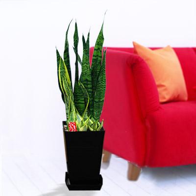 【産直 観葉植物(通年)】サンスベリア3種寄せ(黒鉢)