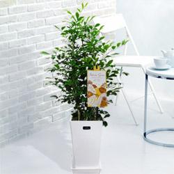 【夏の花贈り特集】シルクジャスミン(白鉢) 711380 |花キューピットの夏の花贈り特集2020