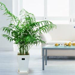 【産直 観葉植物(通年)】テーブルヤシ(白鉢)