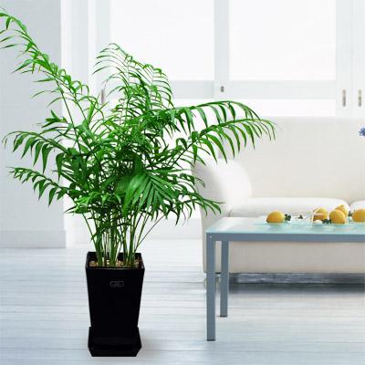 【産直 観葉植物(通年)】テーブルヤシ(黒鉢)