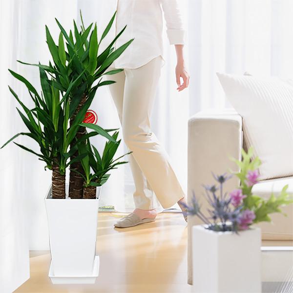 【産直 観葉植物(通年)】ユッカエレファンティペス 青年の樹(白鉢)