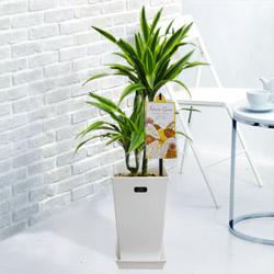 【産直 観葉植物(通年)】ワーネッキーレモンライム(白鉢)