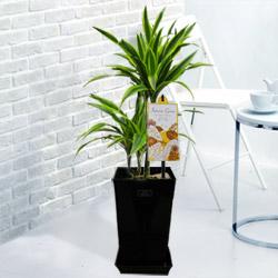 【産直 観葉植物(通年)】ワーネッキーレモンライム(黒鉢)