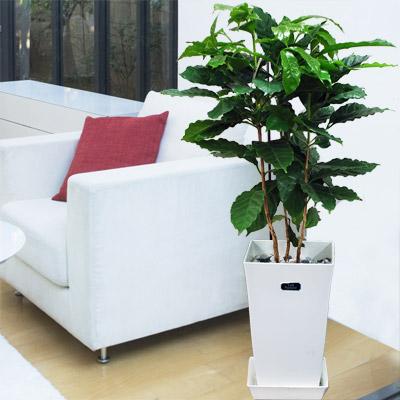 【産直 観葉植物(通年)】コーヒーの木(白鉢)
