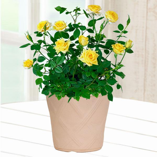 【父の日】バラ スウィートダイアナ 鉢カバー(陶器) 711405 |花キューピットの父の日フラワーギフト特集2020