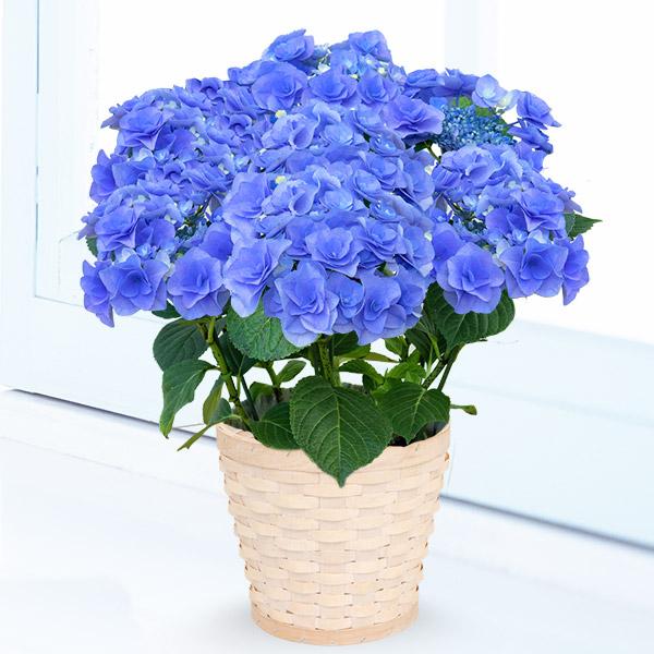 【父の日】あじさい フェアリーアイ(ブルー) 711406 |花キューピットの父の日フラワーギフト特集2020