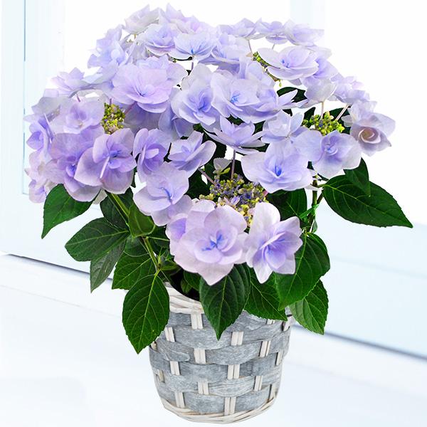 【父の日】あじさい ノーブル(ブルー) 711407 |花キューピットの父の日フラワーギフト特集2020